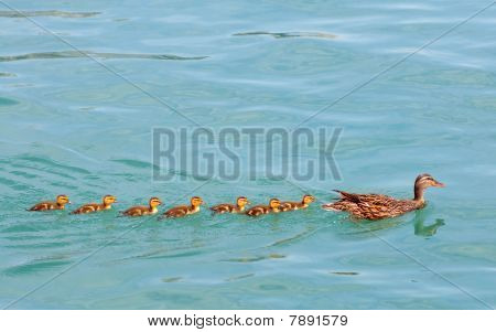 Ducklings In A Row