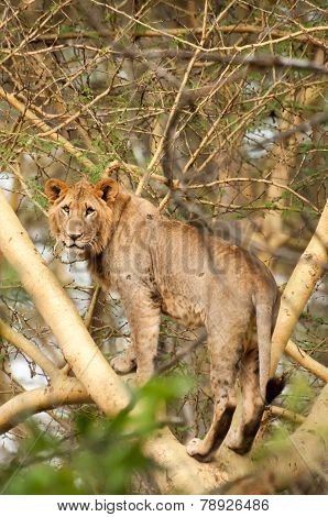 Lion Standing In Tree