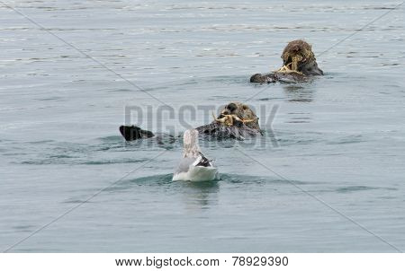 Crab For Two Otters