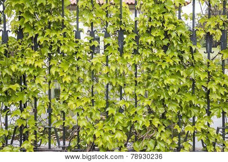 green leaves of creepers in a metallic fence