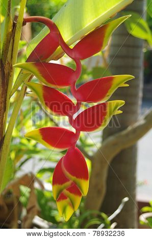 Hanging Heliconia flower [ crabclaw ]
