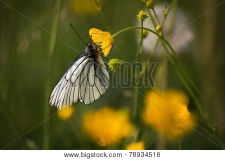 Close up of a Large White butterfly