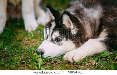 Sad Young Husky Puppy Eskimo Dog