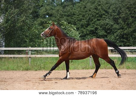 Beautiful Bay Horse Galloping At The Field