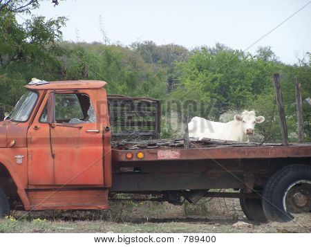 Cow and his truck