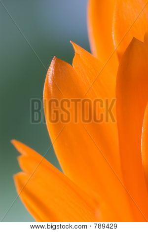 Petals of orange flower(Calendula) macro