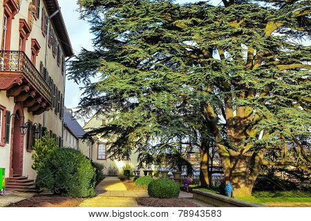 200 year old cedar (Cedrus libani) in the palace garden Bad Homburg, Germany
