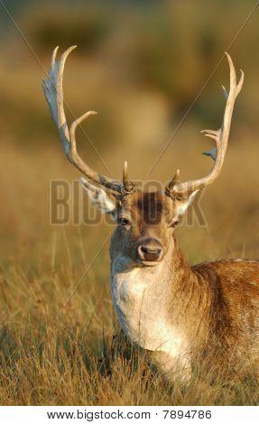 Buck de Gamo
