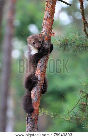 Marten Beech, Lat. Martes Foina On The Pine Tree