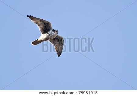Prairie Falcon Flying In A Blue Sky
