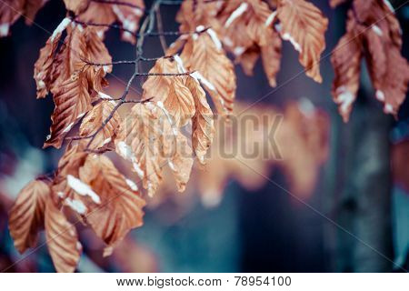Winter Leaves On The Beech Branch.