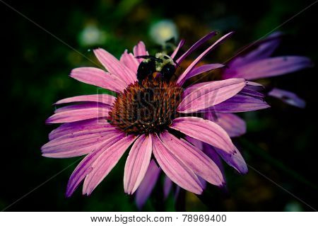 Bumblebee on pink flower