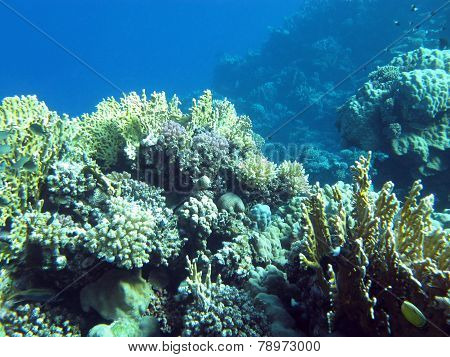 Colorful Coral Reef  With Hard Corals At The Bottom Of Tropical Sea On Blue Water Background