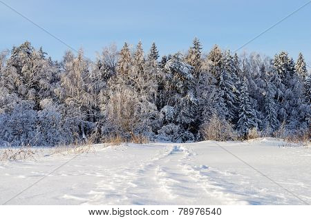 Trees Covered With Snow In Winter Forest