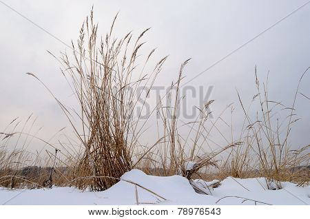 Dry Grass In Snowy Field