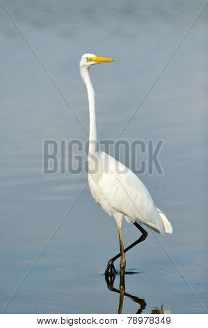 big white egret (egretta garzetta) in natural habitat
