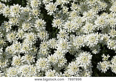 Evergreen Candytuft