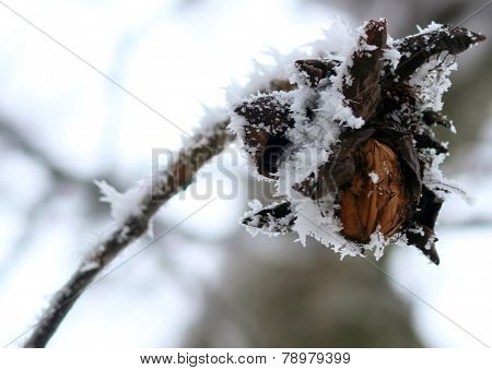 walnut tree with bare branches