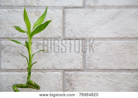 Lucky bamboo  on the grey brick wall background
