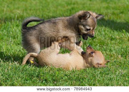 Fighting Puppies