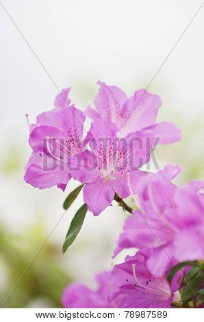 Pink Azaleas Bush