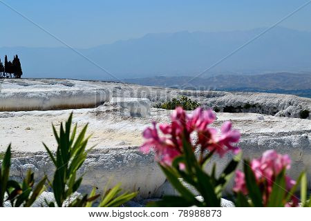 Bright pink flowers in Pamukkale