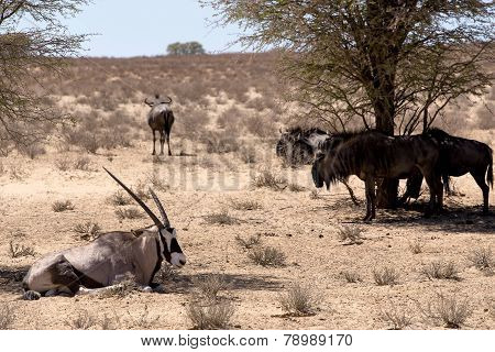 Gemsbok, Oryx Gazella And Gnu In African Bush