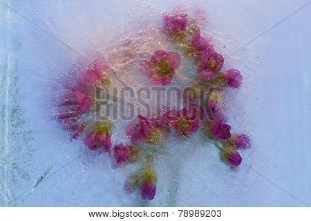 Frozen   Flower Of       Bergenia
