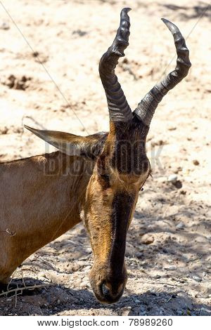 A Tsessebe (damaliscus Lunatus) Stood Facing The Camera