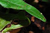 picture of orange frog  - small green tree frog sitting below a leaf with a shadow - JPG