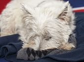 picture of west highland white terrier  - West Highlands terrier with muzzle in a sox - JPG