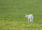 picture of the lost sheep  - Momma - JPG