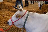 picture of cash cow  - An image of Cow on marketplace in Italy - JPG