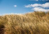 image of dune grass  - Beach grass on a sand dune in Prince Edward Island - JPG