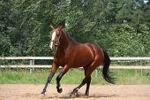 stock photo of breed horse  - Beautiful bay latvian breed horse galloping at the field near the fence - JPG