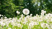 image of dandelion  - meadow with dandelions  - JPG