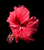 stock photo of hibiscus  - Red Hibiscus  - JPG