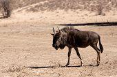 picture of wildebeest  - wild Wildebeest Gnu standing in desert Kgalagadi Transfrontier Park South Africa true wildlife  - JPG