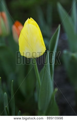 Pale yellow tulip in selective focus