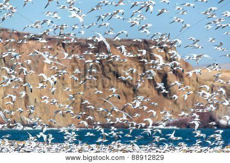 Elegant Tern Flock