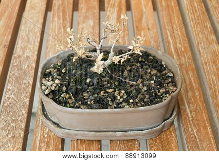 Dry Bonsai Tree In Flower Pot On A Table