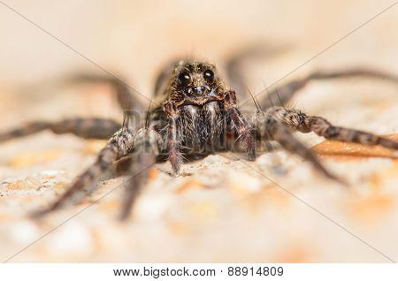 Wolf Spider Portrait