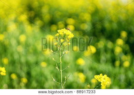 Canola Flowers In A Field