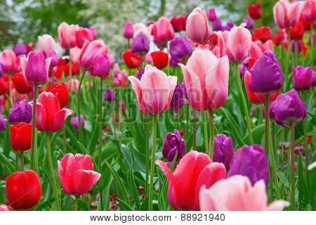 Fresh blooming tulips in the spring garden