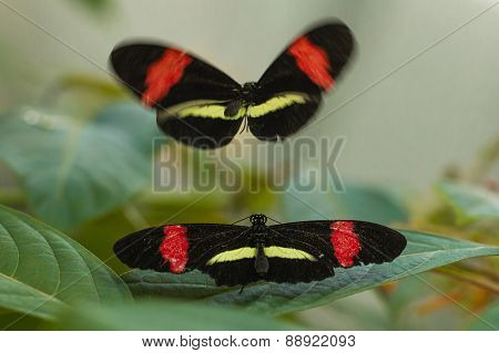Postman butterflies mating