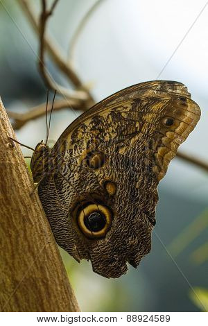 Giant Owl butterfly resting