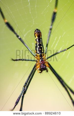 Golden Orb-weaver Spider