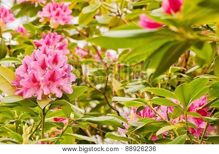 Rink rhododendron flowers