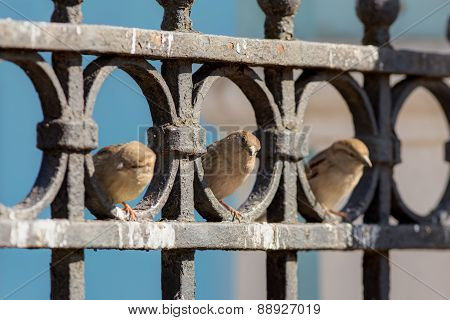 Three Curious Sparrow
