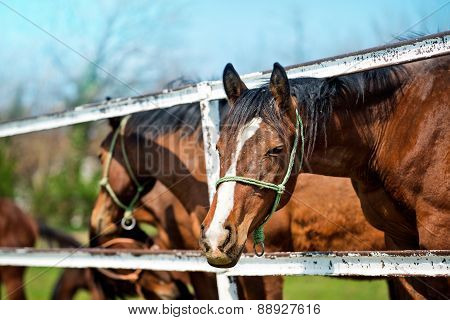 Beautiful Brown Chestnut Horses On The Animal Farm